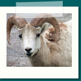 Ram or Big Horned sheep  was photographed in Banff,  Alberta Canada